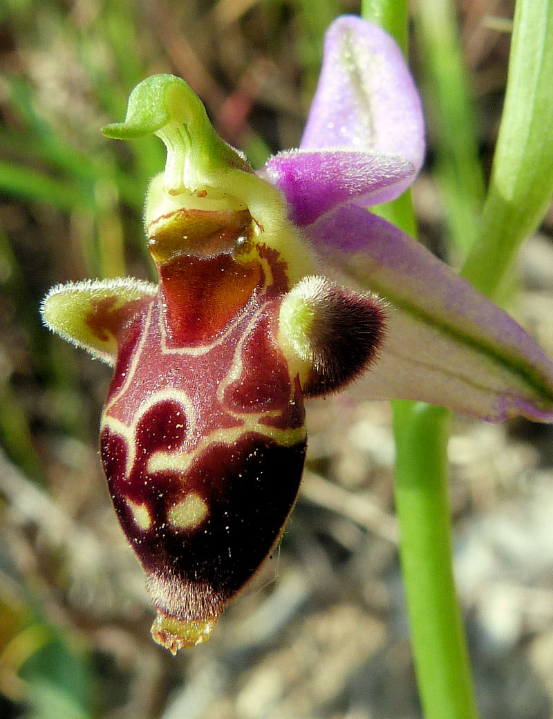 Orchidea di Mattinata